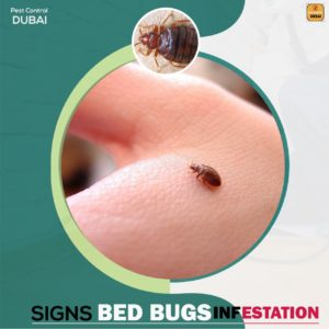 Bed-bugs-Killer, Pest-Control-Service-in-dubai, How-to-kill-bed-bugs
