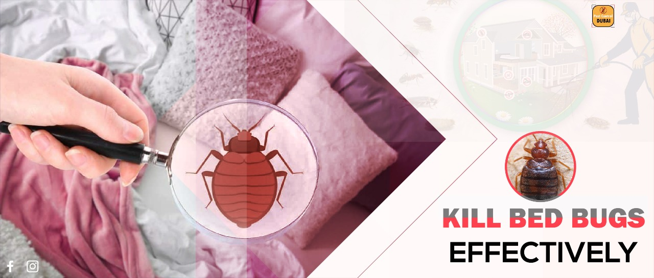 Bed Bugs in Dubai: Essential Tips on Infestation Prevention