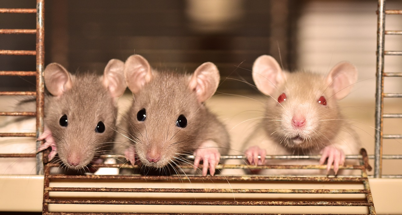 Read more about the article 6 Best Rodent Killer for a Clean & Safe Home
