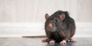 Top-Ranked Rat Pest Control Exterminator in Dubai and Abu Dhabi